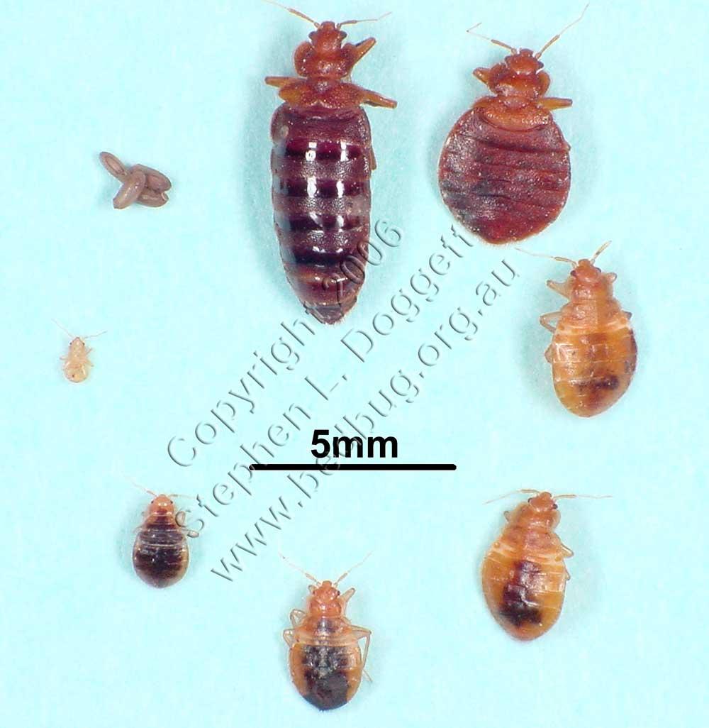 Процесс превращения личинки во взрослого клопа