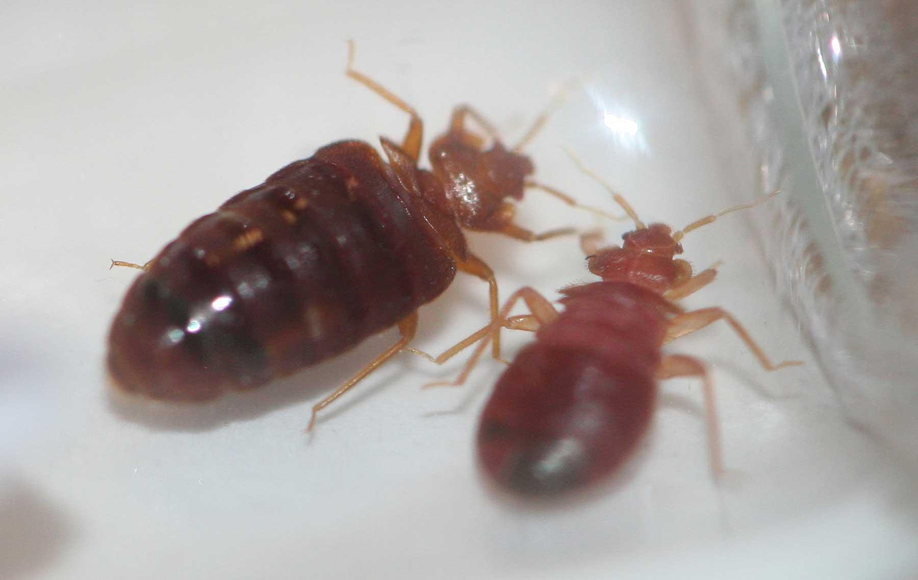 Инсекта Дибро-фин